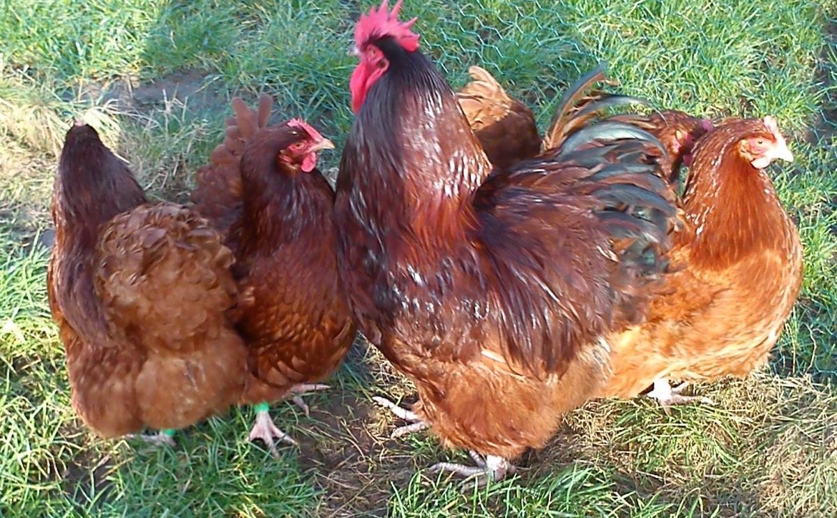 Oroington Hühner in rot