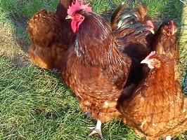 vier Orpington Hennen