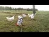 bunte Hühnerherde